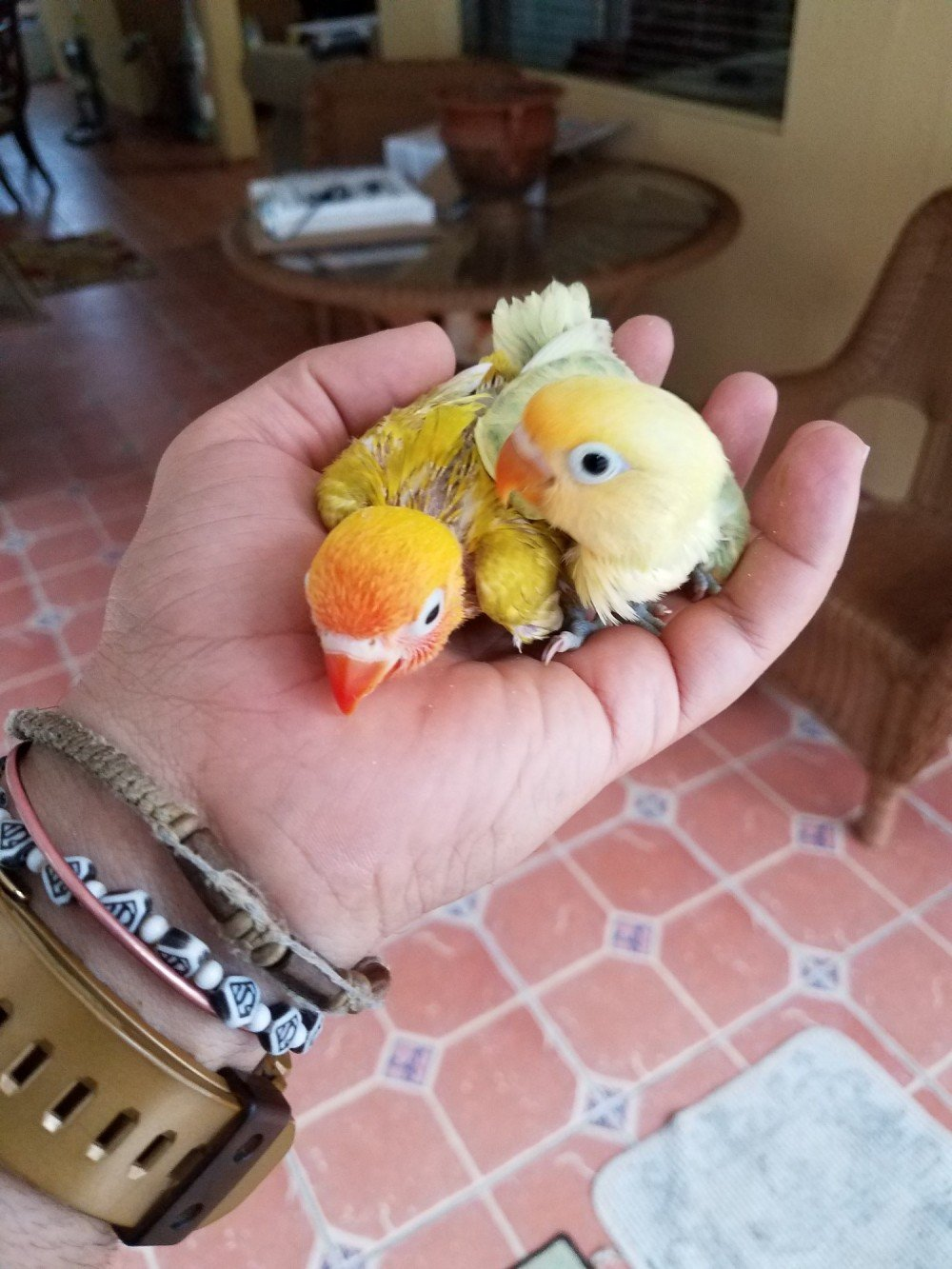 INTRODUCTION TO LOVEBIRDS