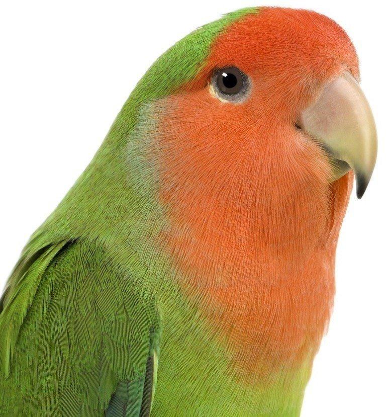 PEACH FACE LOVEBIRDS