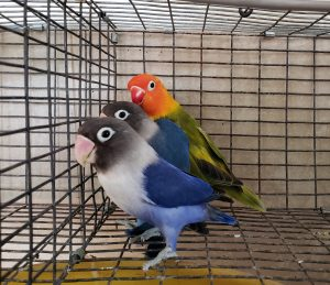WHY MY LOVEBIRD DOESN'T SIT TO WARM THE EGGS?