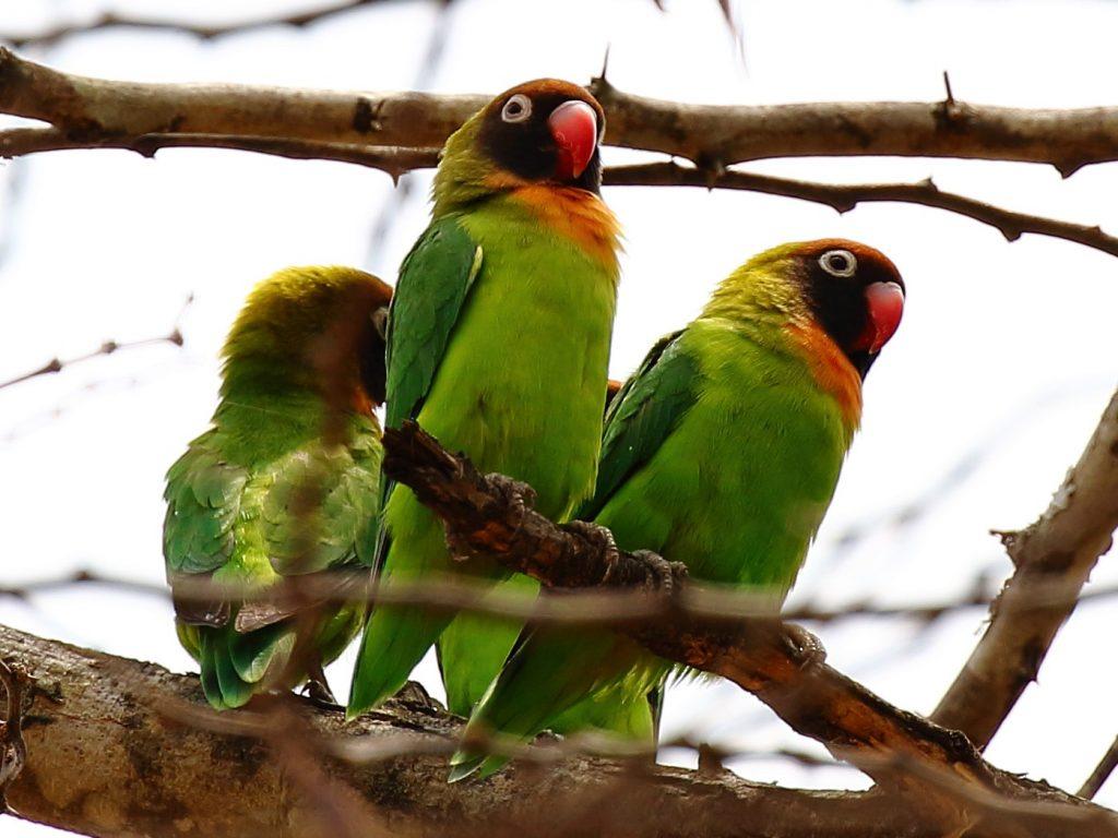 Black-Cheeked Love Birds