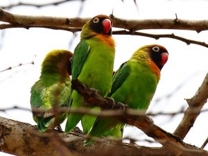 The 9 Species Of Lovebirds