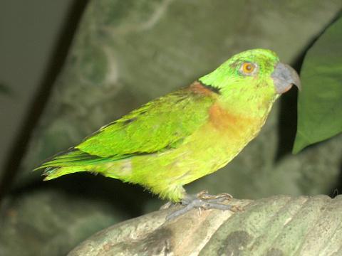 Black-Collared Lovebirds