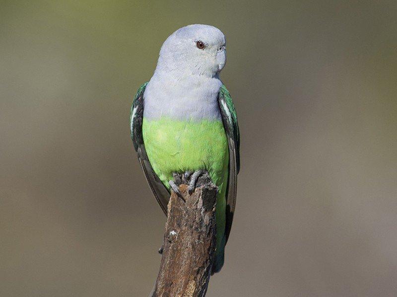 Madagascar Lovebird