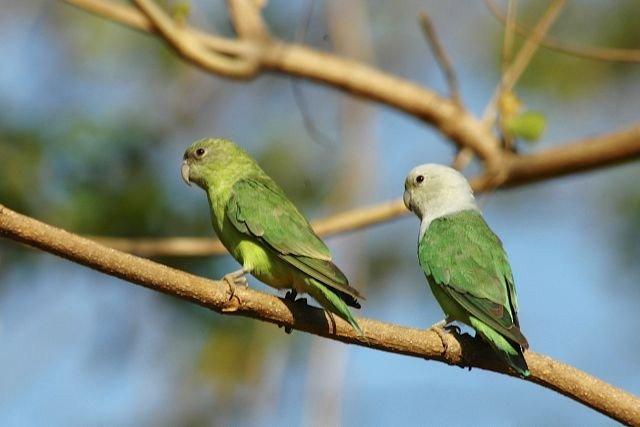 Madagascar Lovebirds