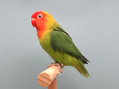 Nyasa Love Birds