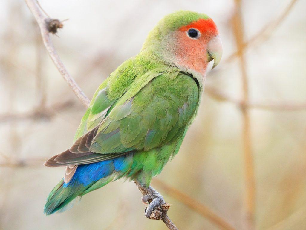 Red-Faced Lovebird