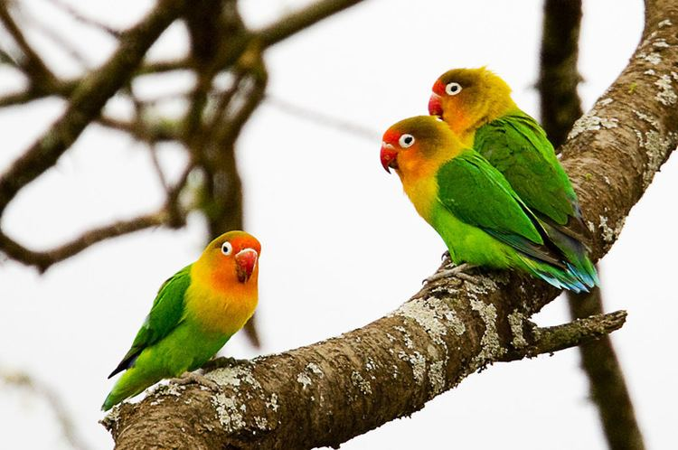 How To Breed Fisher Lovebirds in Colony
