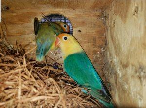 WHY MY BIRDS ARE NOT BREEDING?