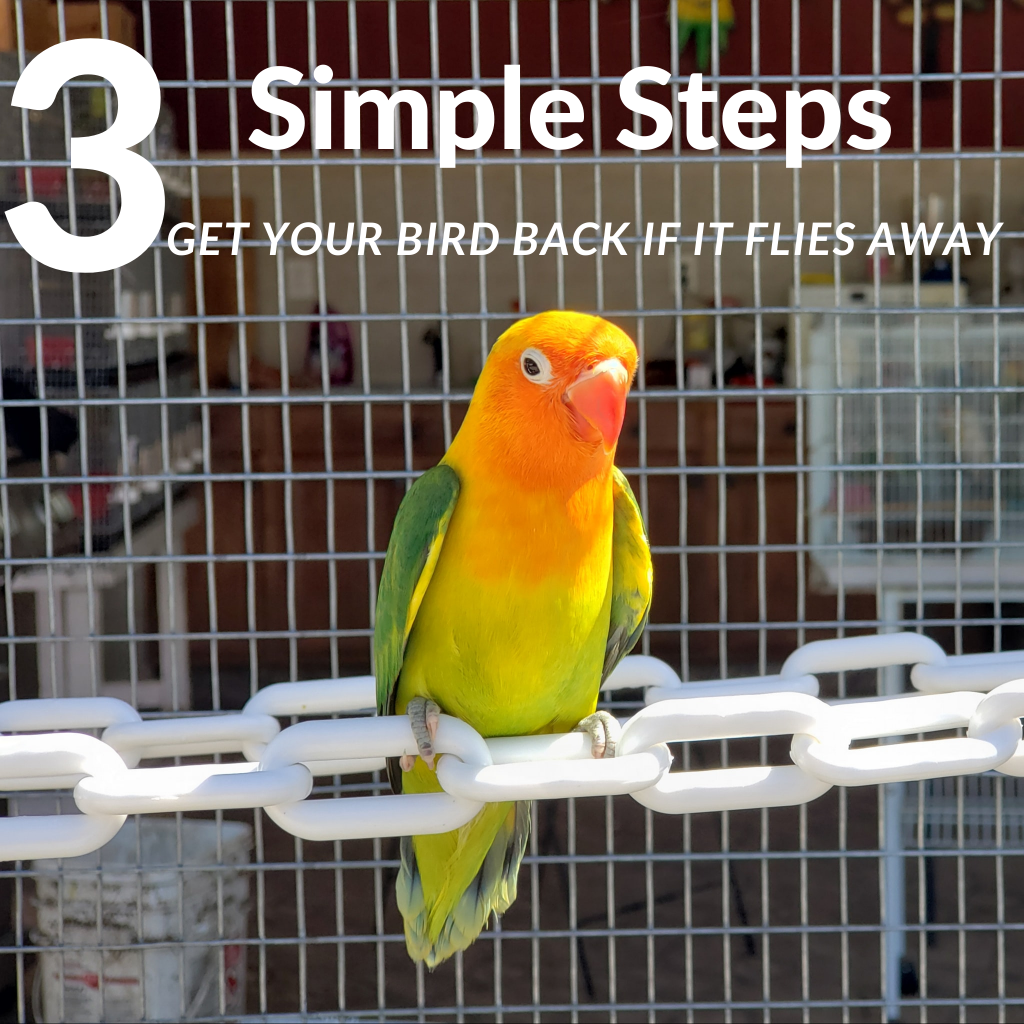 3 Simple Steps to get your bird back If it flies away