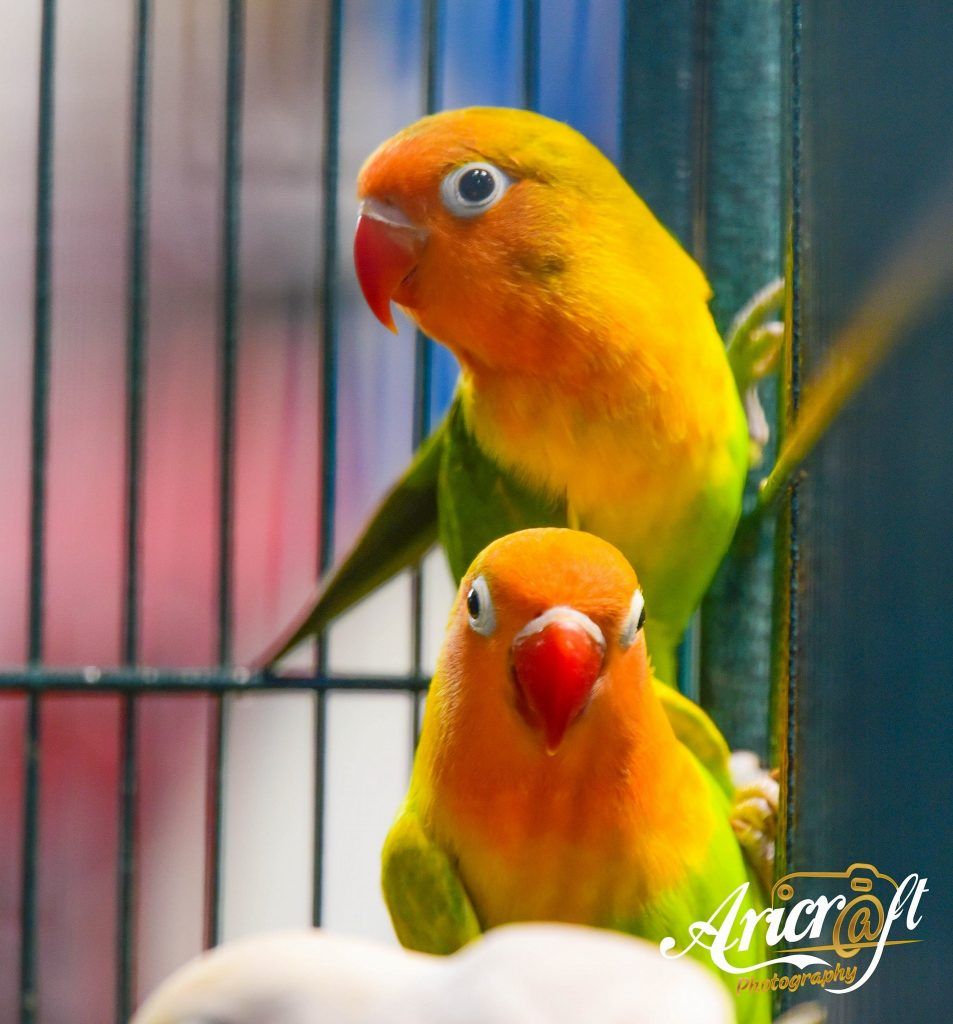 4 Simple Steps To Make Your Birds Breed faster