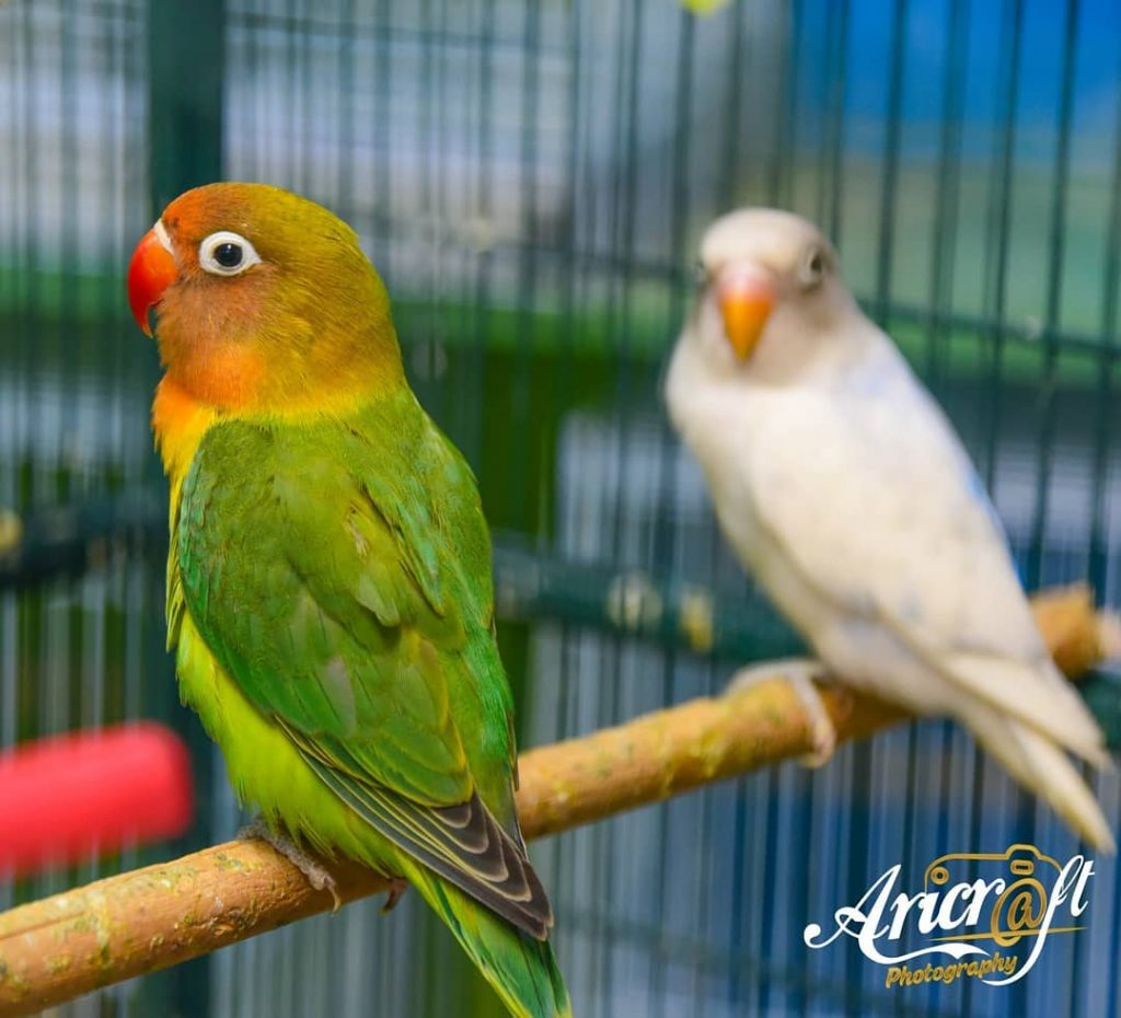why female lovebirds are aggresive