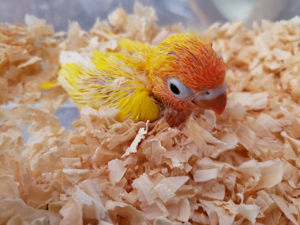 Baby Yellow fisher Lovebird for sale