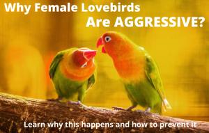 Why Female Lovebirds Are Aggressive?