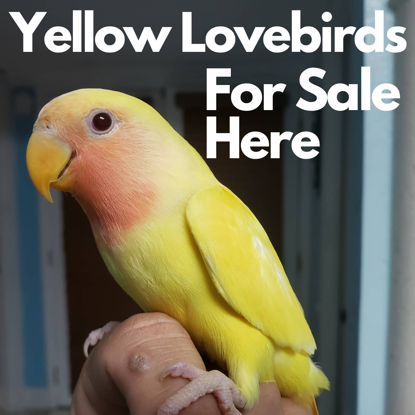 Yellow Lovebirds For Sale