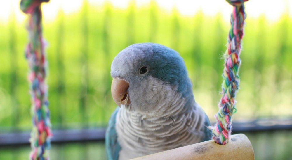 quaker-parrot-HERO